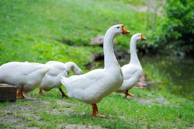 Un troupeau d'oies domestiques sur fond blanc herbe verte