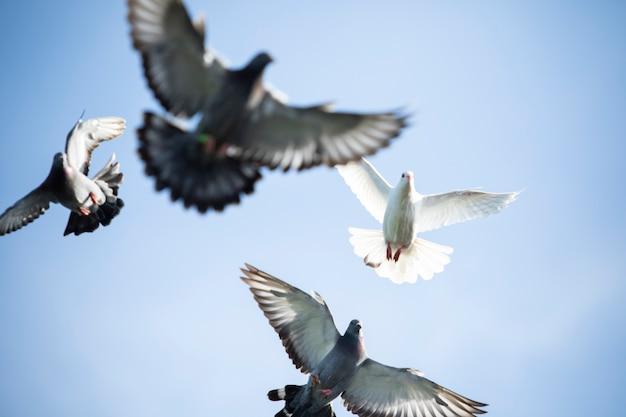 Troupeau d'oiseau de pigeon voyageur voler contre le ciel bleu clair