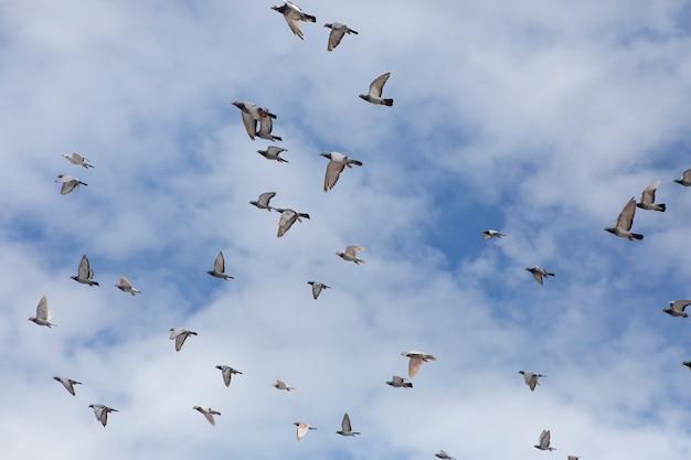 Troupeau de pigeon de course automobile vole contre ciel nuageux