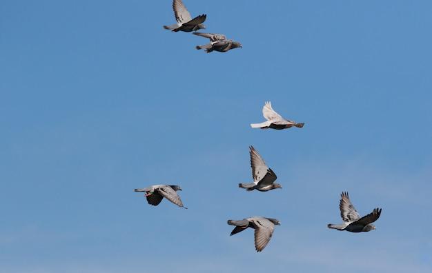 Troupeau de pigeon de course de vitesse battant contre le ciel bleu clair