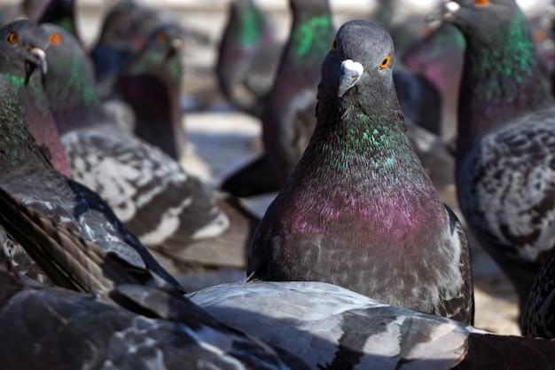 Troupeau de pigeons vu de dessous. une colombe regarde la caméra.