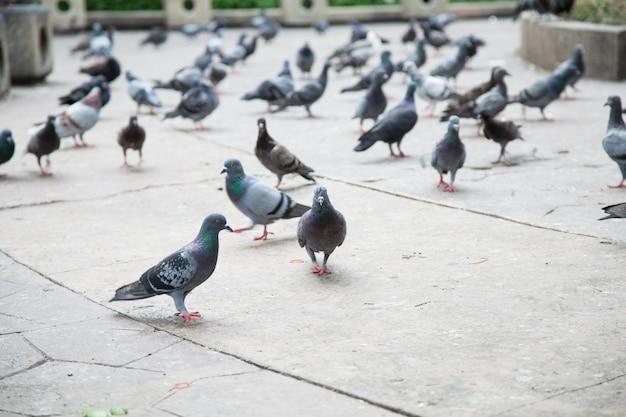 Troupeau de pigeons.