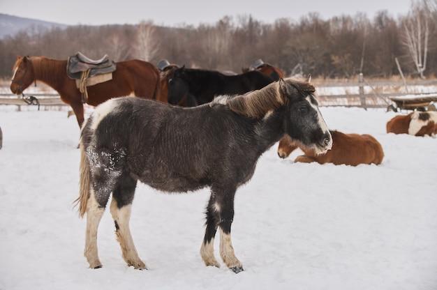 Troupeau de poulains sur la prairie couverte de neige dans un hiver profond.