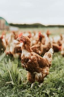 Troupeau de poules dans une ferme