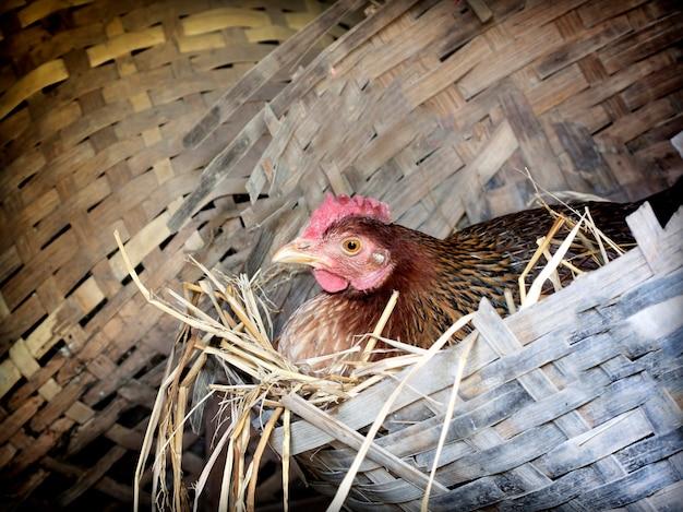 Troupeau de poulets broutant