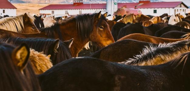 Troupeau de précieux chevaux islandais rassemblés dans une ferme.