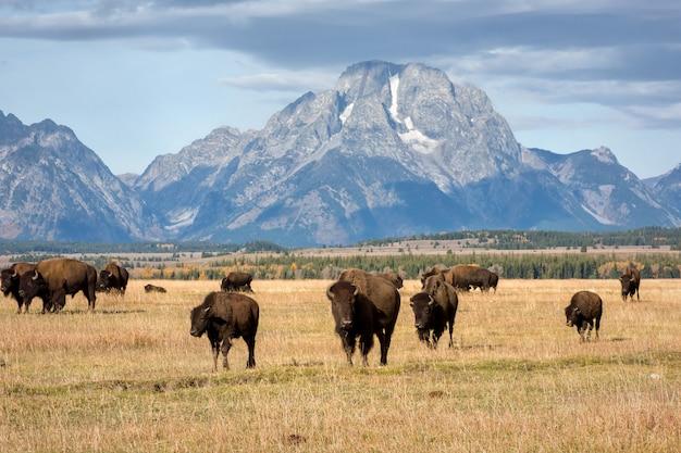 Troupeau de tetons et de bisons en automne
