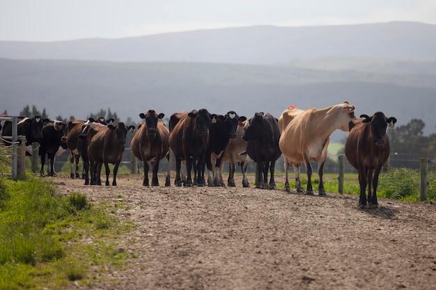 Troupeau de vaches après la traite dans la ferme laitière