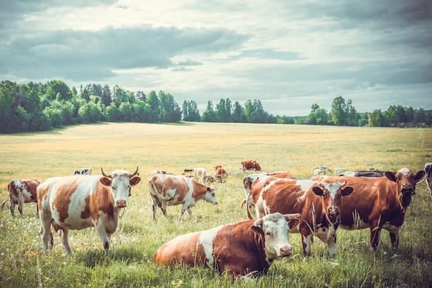 Troupeau de vaches broute
