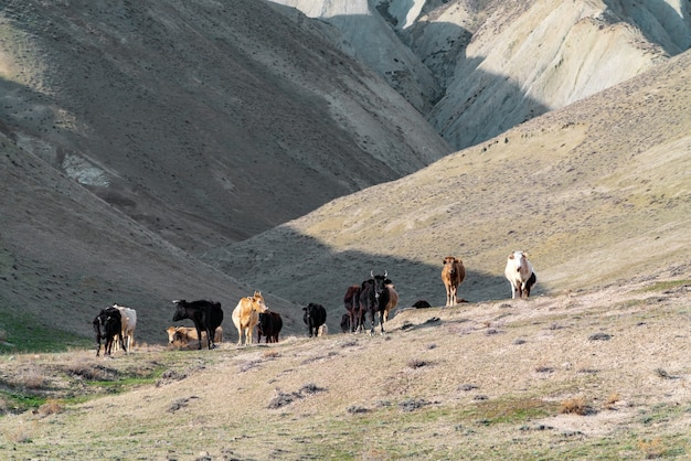 Troupeau de vaches dans les montagnes