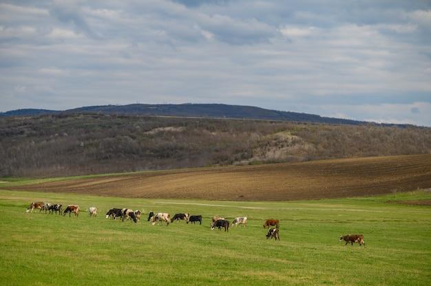 Troupeau de vaches dans un pré parmi les collines verdoyantes