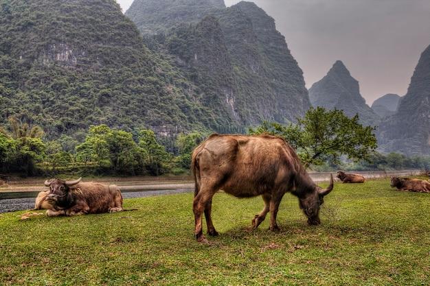 Troupeau de vaches hirsutes rouges dans le pâturage près de la rivière lijiang, guilin au printemps, prairies vertes et collines karstiques dans le brouillard, province du guangxi, sud de la chine.
