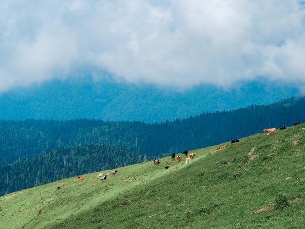 Troupeau de vaches paissent dans les montagnes