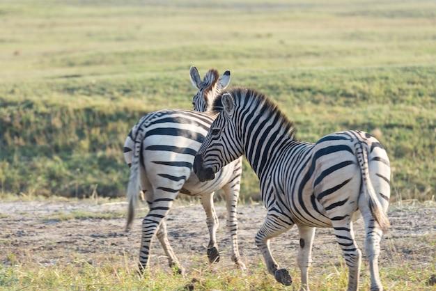 Troupeau de zèbres au parc national d'etosha, destination de voyage en namibie. poussière, lumière tamisée.