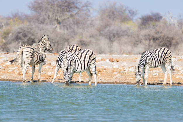 Troupeau de zèbres buvant au point d'eau dans la brousse. safari animalier dans le parc national d'etosha, destination de voyage en namibie
