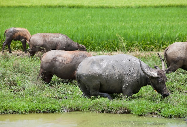 Les troupeaux de buffles mangent de l'herbe dans le champ.