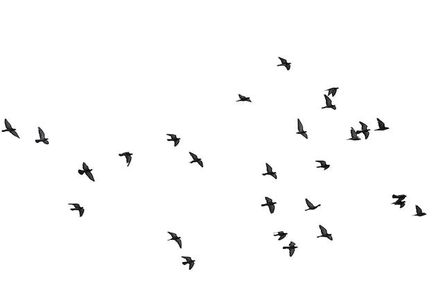 Troupeaux de pigeons en vol isolés sur blanc. tracé de détourage.