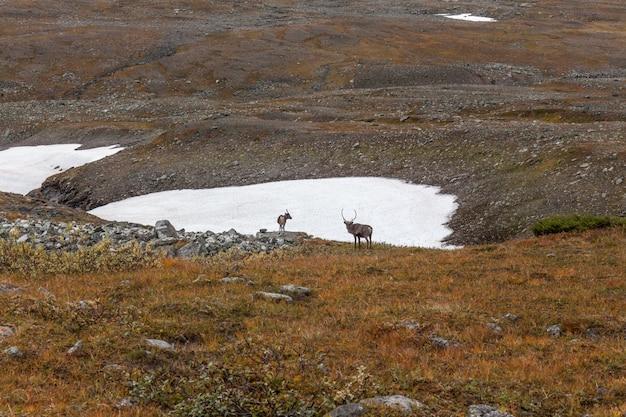 Troupeaux de rennes dans le parc national de sarek, suède
