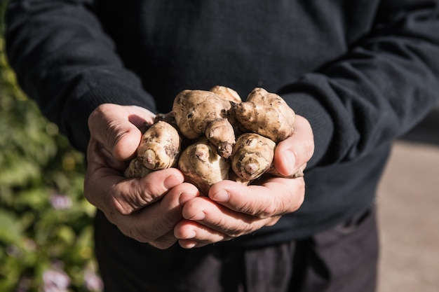 Tubercules de topinambour dans les mains. racines fraîchement récoltées d'helianthus tuberosus, également connues sous le nom de sunroot, topinambour, pomme de terre, topinambur ou agneau. utilisé comme légume racine.