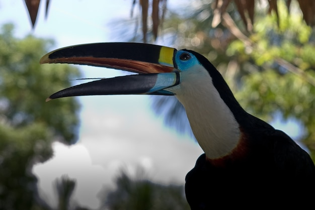 Tucan pérou jungle des oiseaux