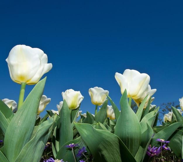 Tulipe blanche dans la villa taranto