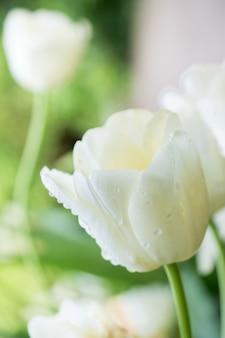 Tulipe blanche en gouttes de rosée. macro mise au point sélective