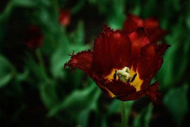 Une tulipe bourgogne terry sur un fond sombre