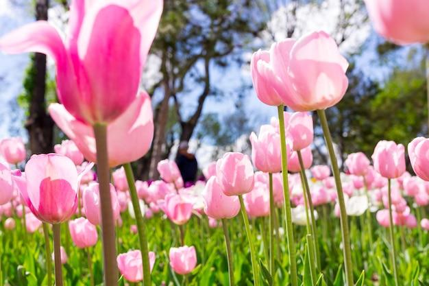 Tulipe colorée fraîche avec arrière-plan flou.