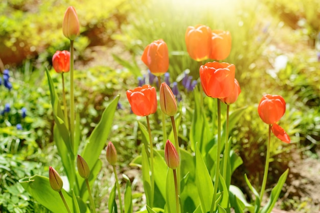 Tulipe de couleur rouge