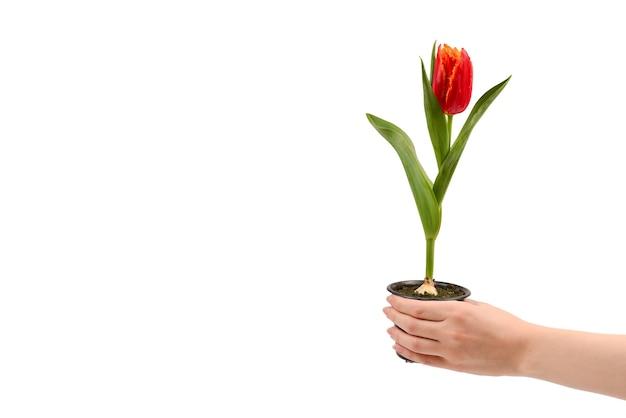Tulipe dans un pot dans les mains de la femme isolé sur blanc