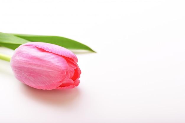 Tulipe fleur rose unique