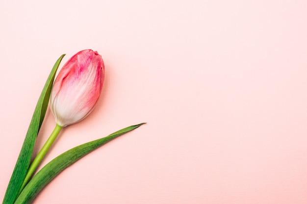 Tulipe sur un fond rose. fleur simple sur fond pastel.