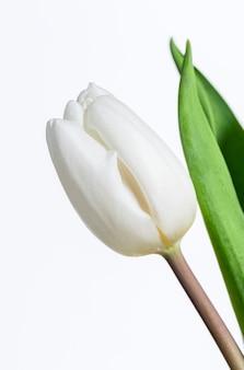 Tulipe fraîche blanche sur fond blanc.