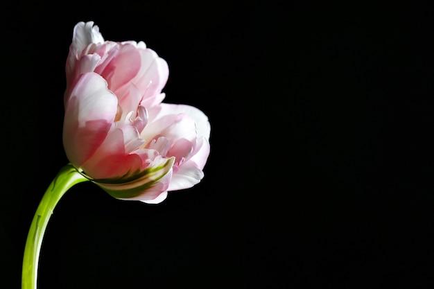 Tulipe fraîche sur fond noir