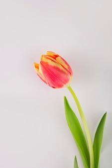 Tulipe de gros plan sur blanc