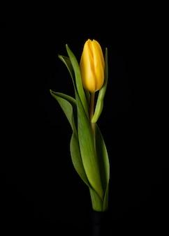 Tulipe jaune en fleurs