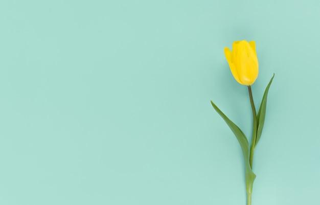 Tulipe jaune sur fond vert. mise à plat mimimaliste avec espace de copie.