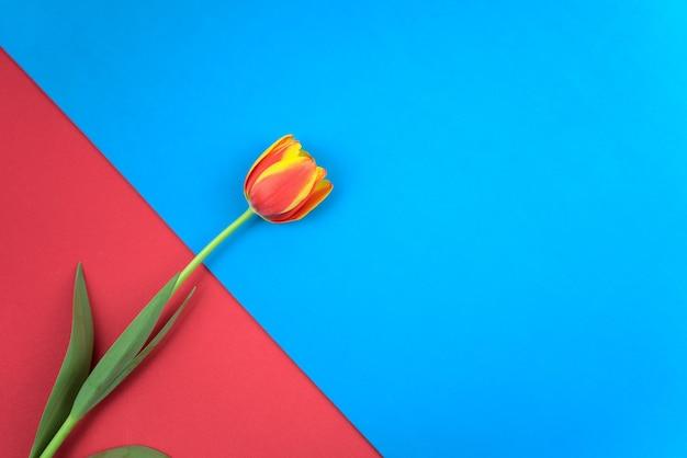 Tulipe magenta rouge à plat sur fond de papier de couleur rouge et bleu pastel vintage style d'art minimal