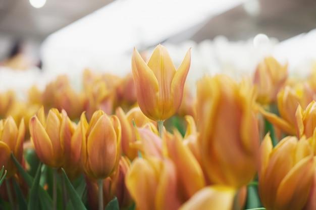 Tulipe orange dans le jardin