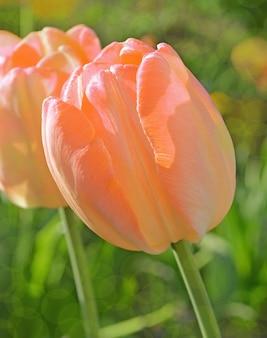 Tulipe orange, fleurs de printemps dans le parc.