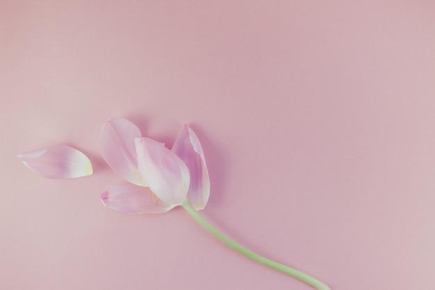Tulipe rose aux pétales sur fond rose