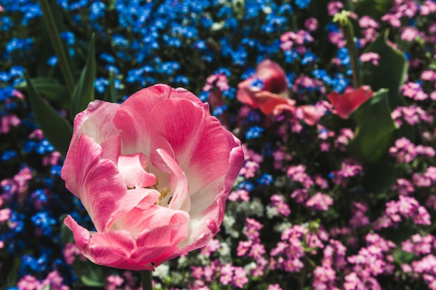 Tulipe rose pleine fleur sur myosotis