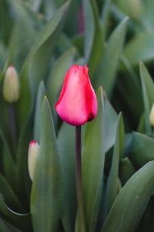 Tulipe rouge en fleur pendant la journée