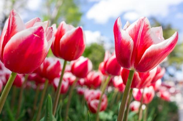 Tulipe rouge fraîche avec fond flou.