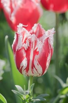 Tulipe rouge avec une frange blanche dans le jardin de rembrandt