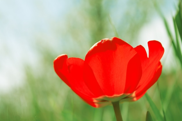 Une tulipe rouge avec des pétales ouverts dans le jardin