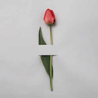Tulipe rouge ou rose élégante sur fond gris. concept minimal de printemps et de cadeau. une invitation à des vacances ou à un événement important.
