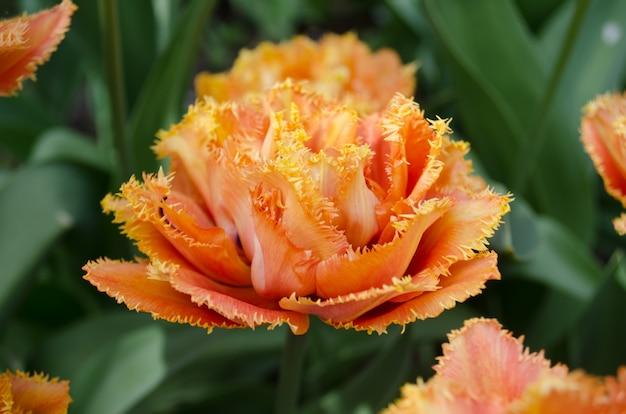 Tulipe sensuelle au toucher. tulipe orange double pétale