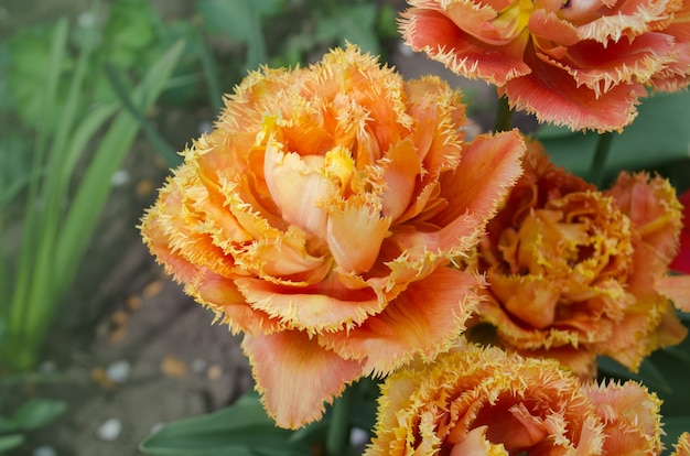 Tulipes appelées sensual touch. tulipe pivoine frangée sensual touch