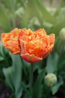 Des tulipes appelées sensual touch. tulipe de pivoine à franges